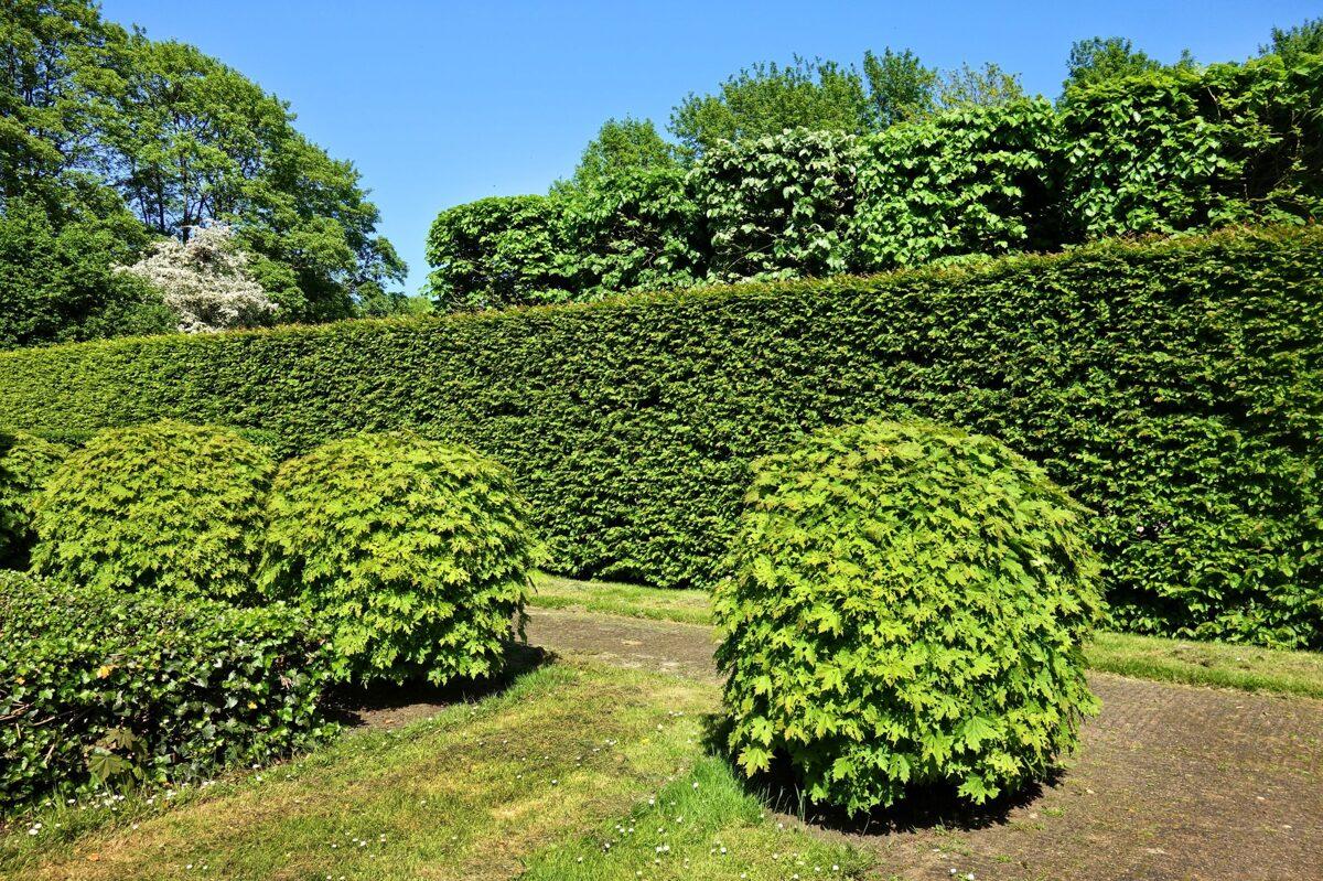 transplanting shrubs